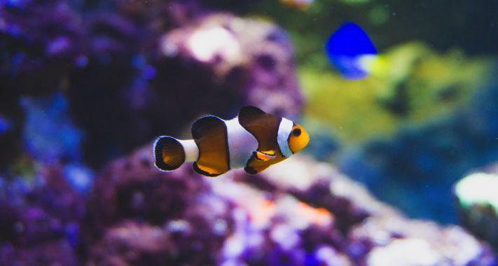 Tudtad? Érdekességek az állatvilágból - Bohóchal