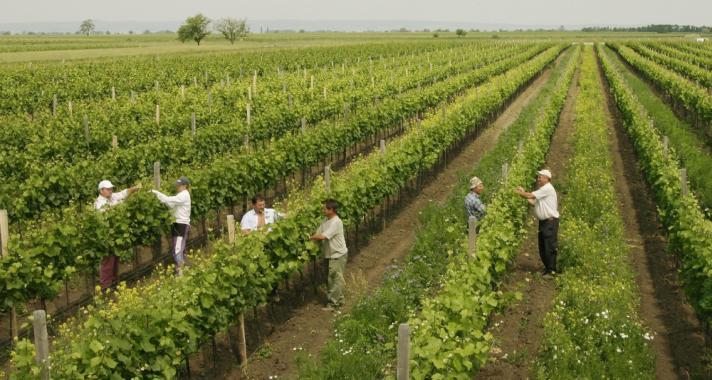 Teázó szőlőtőkék – ez volna a jövő?