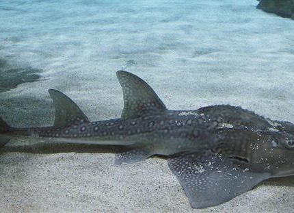 Tropicarium kulisszatitkok: a cápafarkú gitárrája