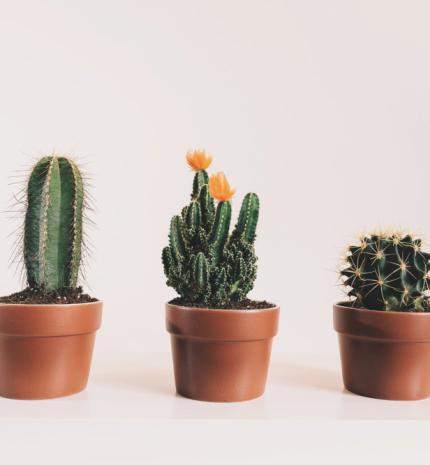 Különböző kaktusz fajták